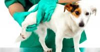 displasia gomito cane