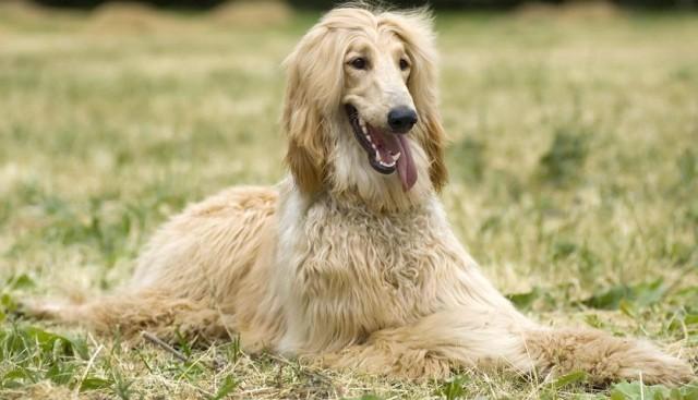 cane afghano
