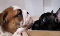 cane bulldog inglese