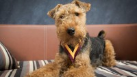 cane Welsh Terrier