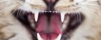 tumore bocca gatto