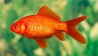 pesce oviparo