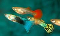 pesce ovoviparo