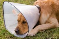 collare elisabettiano cane