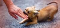 Foto Cosa fare se il cane attacca o morde una persona o animale?