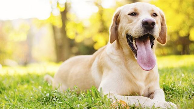 Foto Cane maschio sterile: cause, diagnosi e trattamento