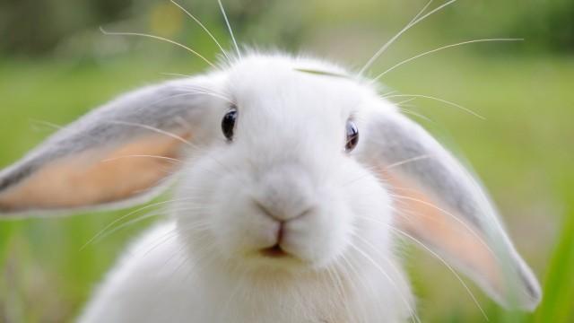Foto Insufficienza renale nel Coniglio: cause, sintomi e cure