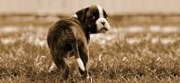 coda del cane