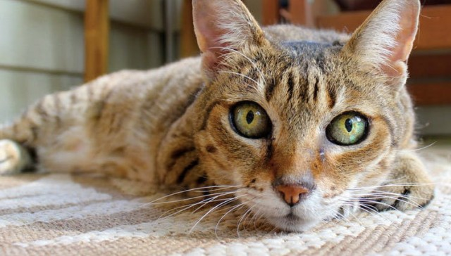 Foto Perchè il gatto ha le orecchie calde?
