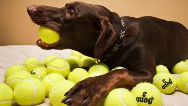 Foto Dare palline da tennis al cane è pericoloso?