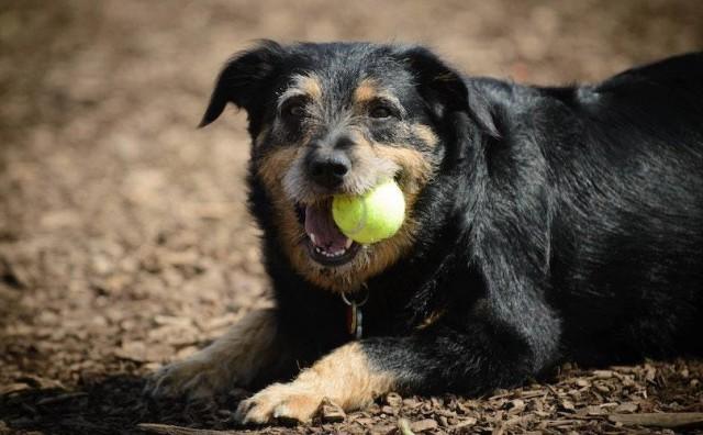 cane gioca pallina tennis