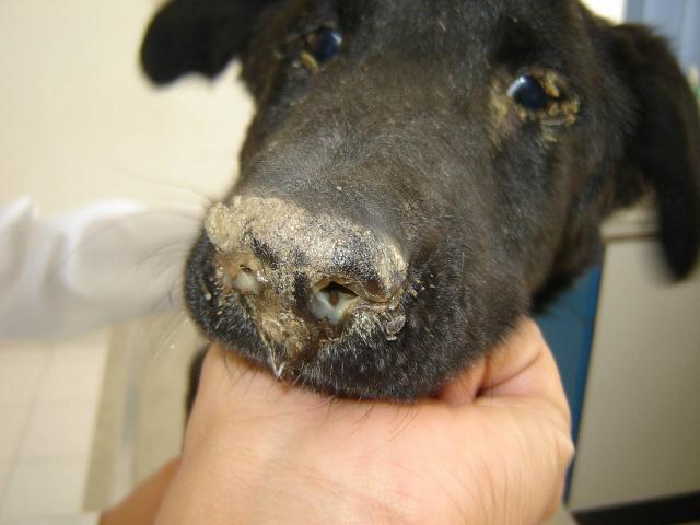 Foto Cimurro del Cane e come curarlo