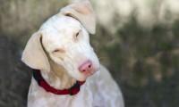 Foto Cane albino: caratteristiche e differenze con i cani bianchi