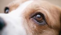 Foto Sindrome di Horner nel cane