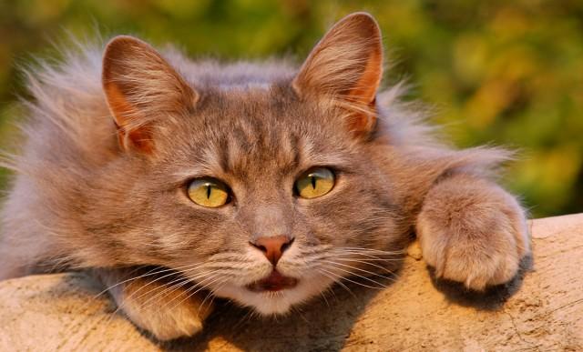 Foto Seborrea nel Gatto: cause, sintomi e trattamento
