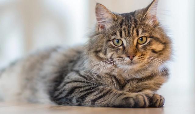pelle grassa gatto