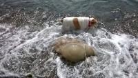 Foto Cane morso da medusa: cosa fare?