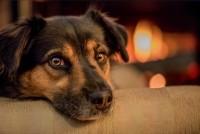 Foto Lupus nel Cane: sintomi e trattamento