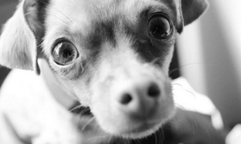Foto Perché il cane mi fissa negli occhi?