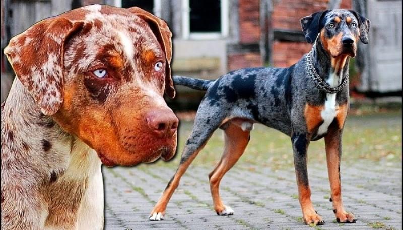 Leopard dog of America