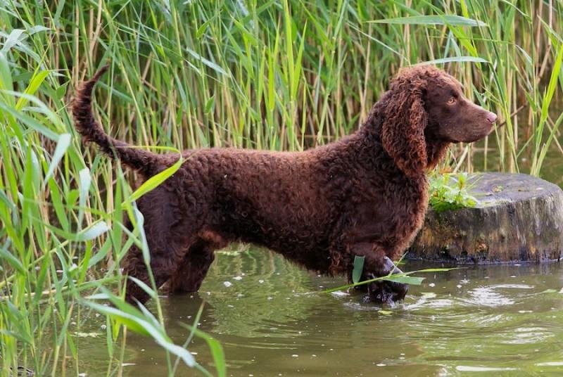 Cane da acqua americano