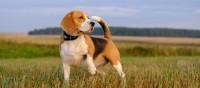 Coonhound inglese americano