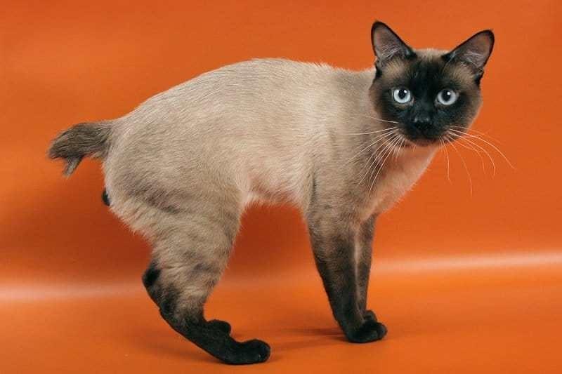 gatto mekong bobtail