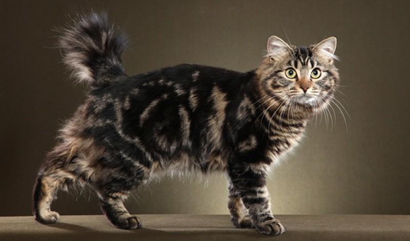 gatto Bobtail americano