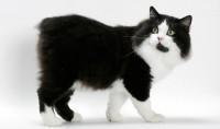 Foto 7 razze di Gatti senza coda con foto