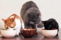 Foto Cosa bisogna fare se il gatto non vuole mangiare?