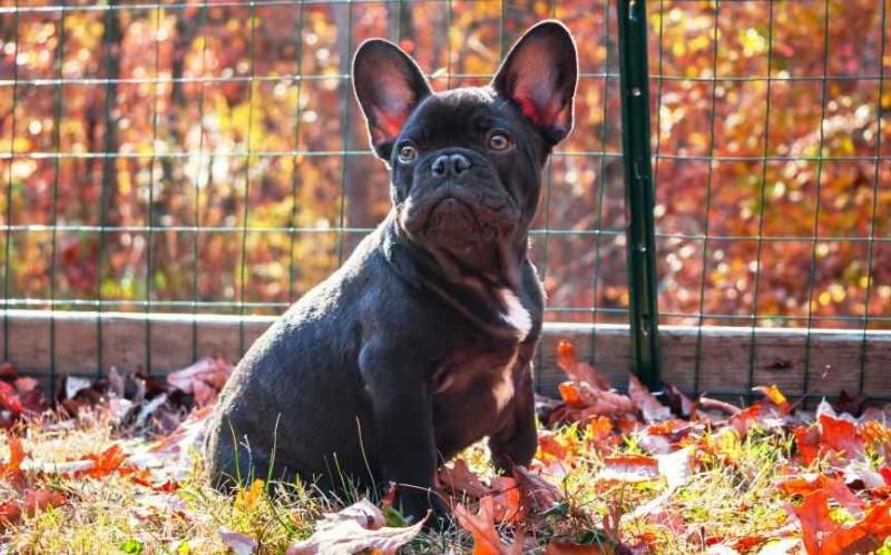 Foto Otoematoma nei cani. È necessario un intervento chirurgico?