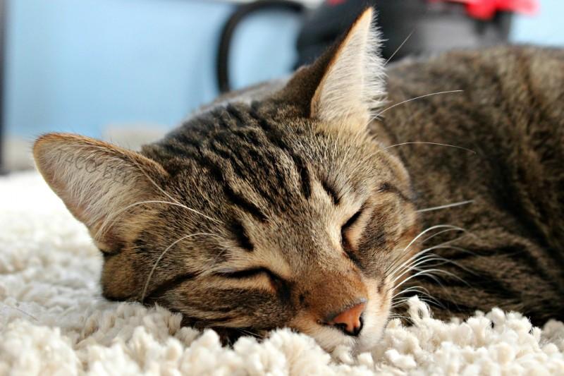 Foto Come accogliere un nuovo gatto in casa, 12 consigli importanti