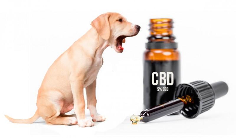 cbd olio cane