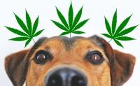Foto L'olio di CBD riduce le convulsioni nei cani