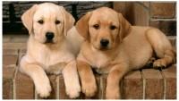 clonazione cane