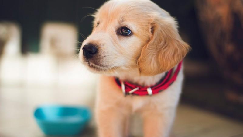 Foto Come pulire l'orecchio del cane, passo dopo passo