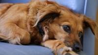Foto Come sapere se un cane ha il cancro?