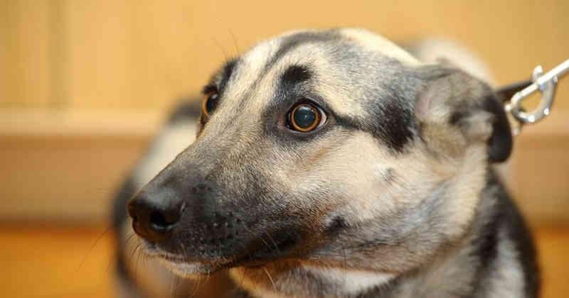 Foto Perché i cani hanno paura del veterinario?