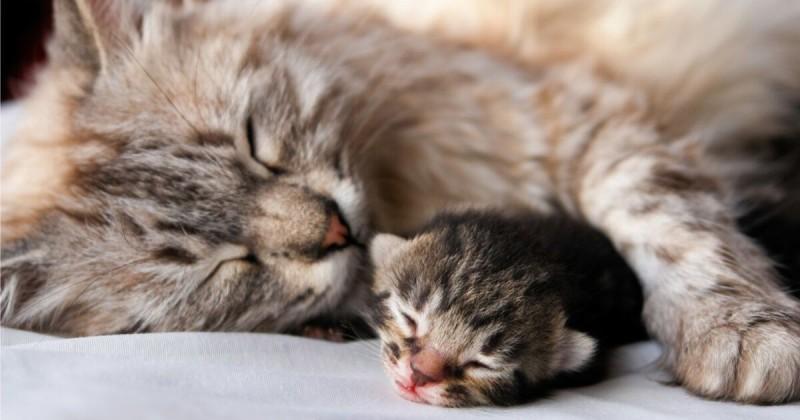 Foto Cosa fare quando il gatto sta per partorire?
