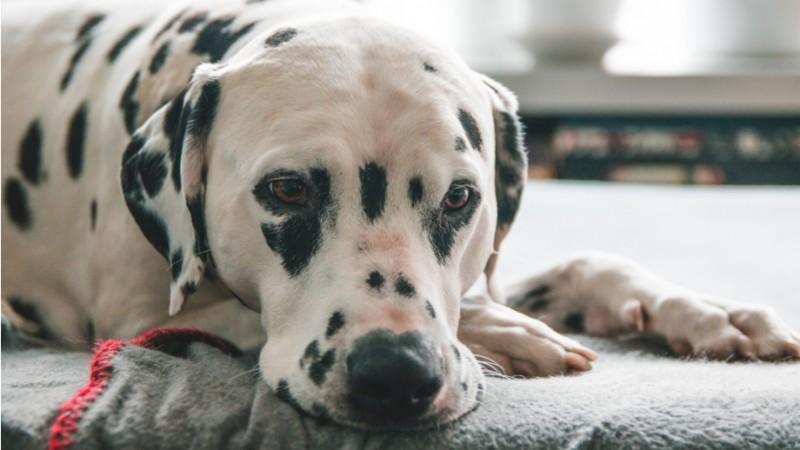 Foto Cistite del Cane: come riconoscerla e trattarla