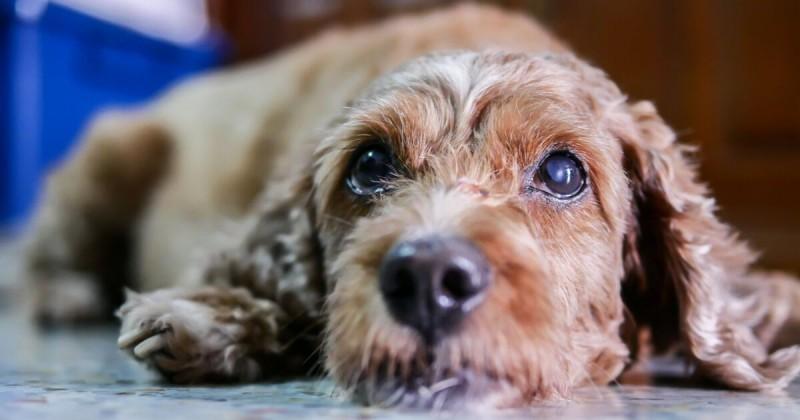 Foto Il Cane ha la cataratta: come riconoscerla e curarla