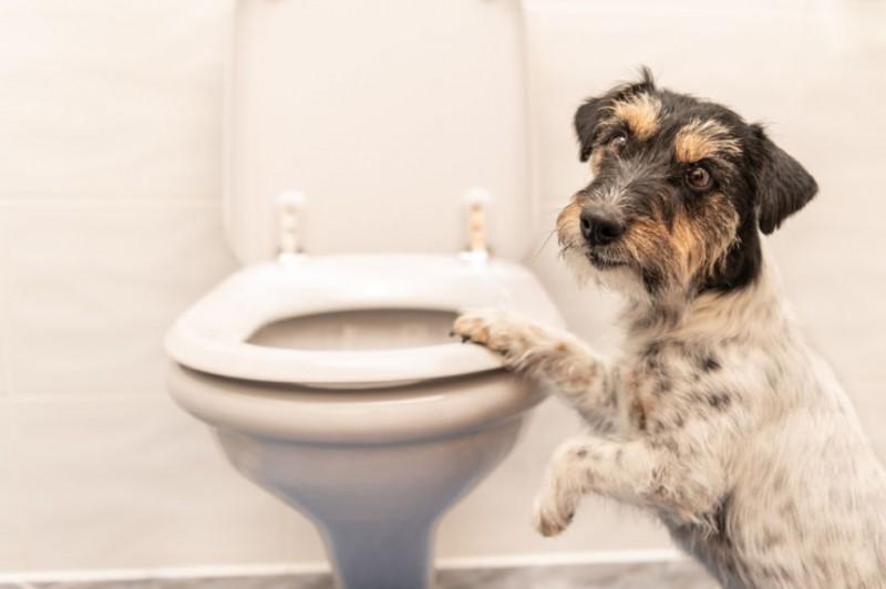 Foto Il mio cane beve acqua dal water. Cosa faccio?