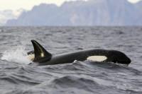 orche nello stretto di messina