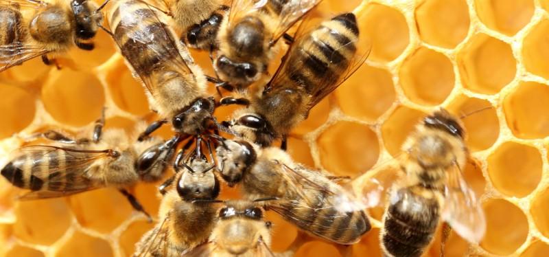 polline al cane api