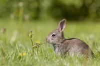 piante tossiche coniglio nano