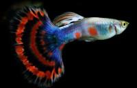 Foto Guppy (Poecilia reticulata) nell'acquario. I nostri consigli