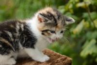 gatto miagola continuamente