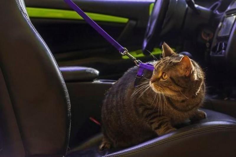Foto Il mio Gatto soffre di mal d'auto. Cosa fare?