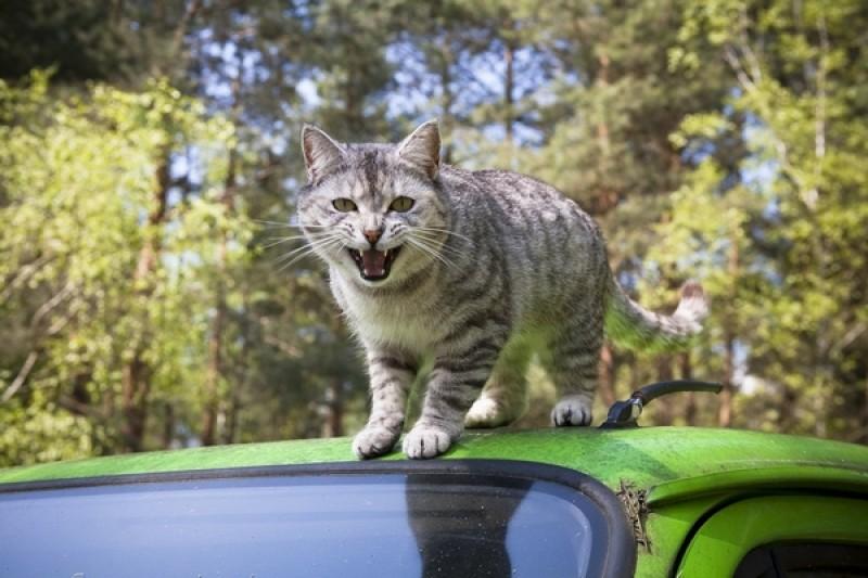 mal auto gatto