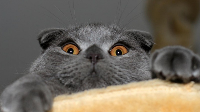 carattere del gatto